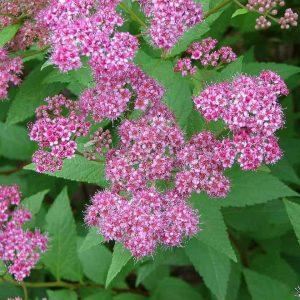 1280px-Brightpinkflowers