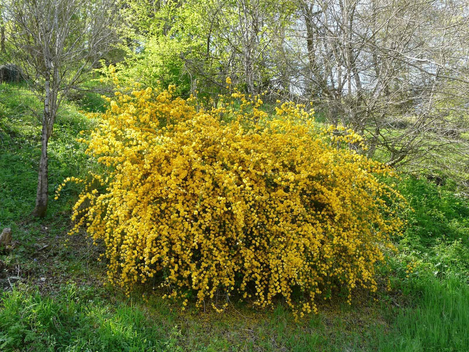 Kerria_japonica_pleniflora_(7)