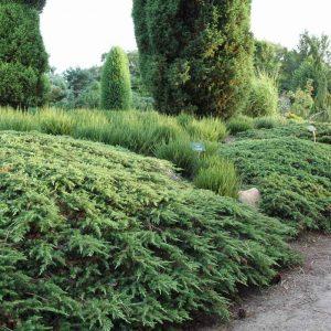 wacholder-gruener-kriech-wacholder-green-carpet-juniperus-communis-green-carpet-16633_5