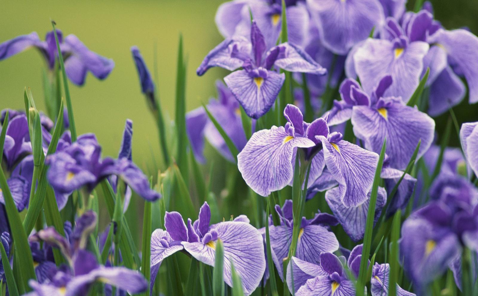 «Ботанический сад НИУ «БелГУ» приглашает на День ириса