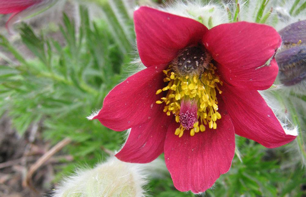 На клумбах ботанического сада НИУ «БелГУ» зацвели удивительные весенние цветы – прострелы.